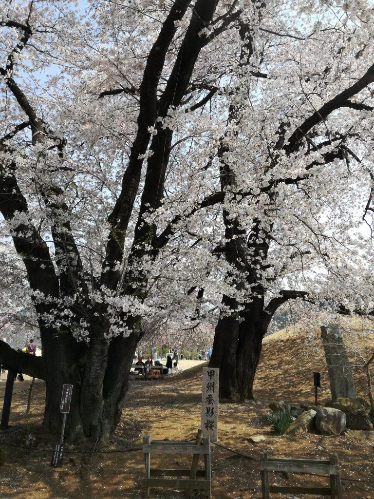 笛吹市 ふるさと公園 桜