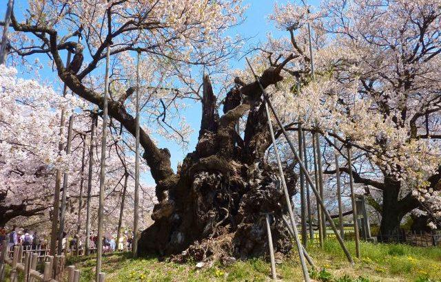 北杜市 神代桜 巨樹