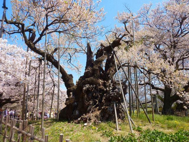 山梨でお花見!一度は見ておきたい桜の巨樹オススメ6選