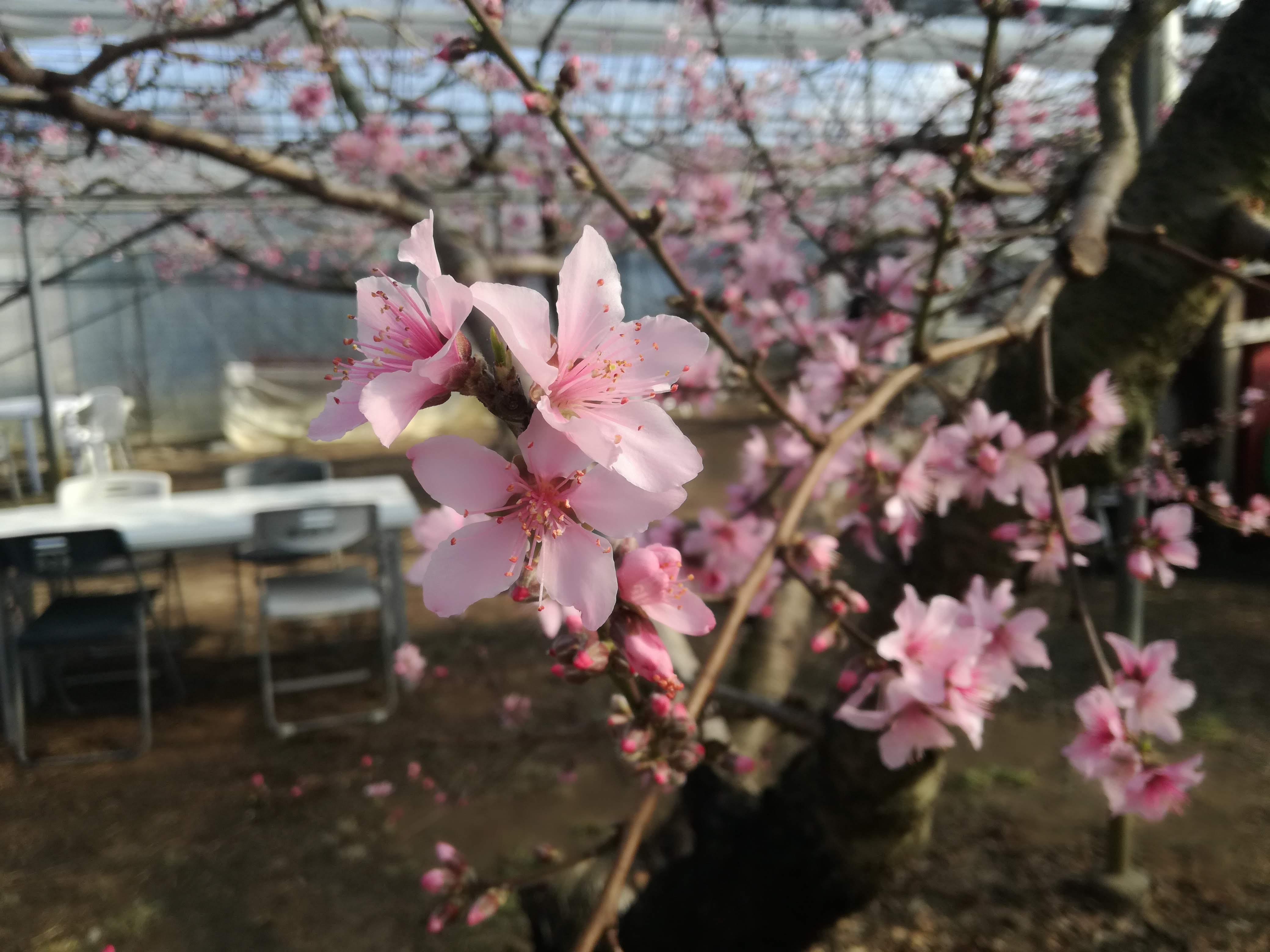 「日本一早いお花見」ハウス桃宴でまったり♪山梨に来たら桃でお花見しよう