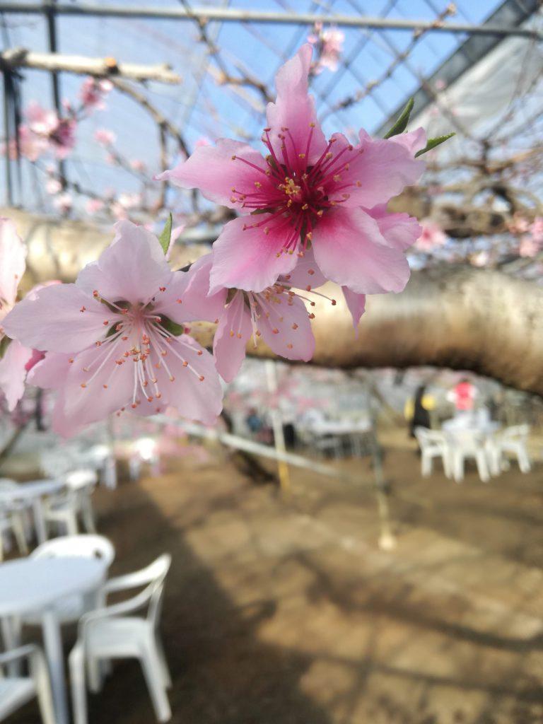 ハウス 桃 お花見