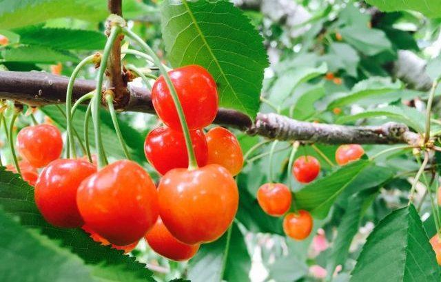 【山梨さくらんぼ狩り】時間無制限や桃狩りもできちゃう農園を紹介