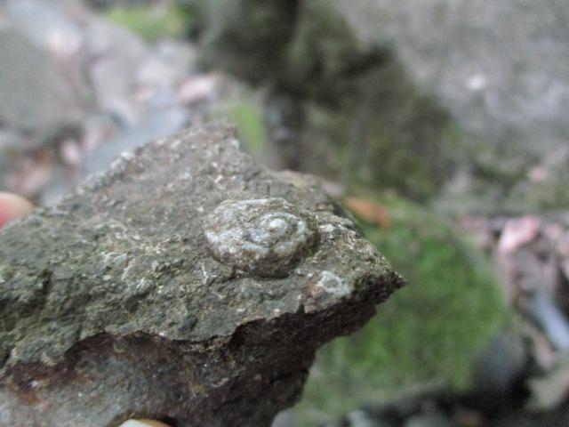 身延町 化石 貝