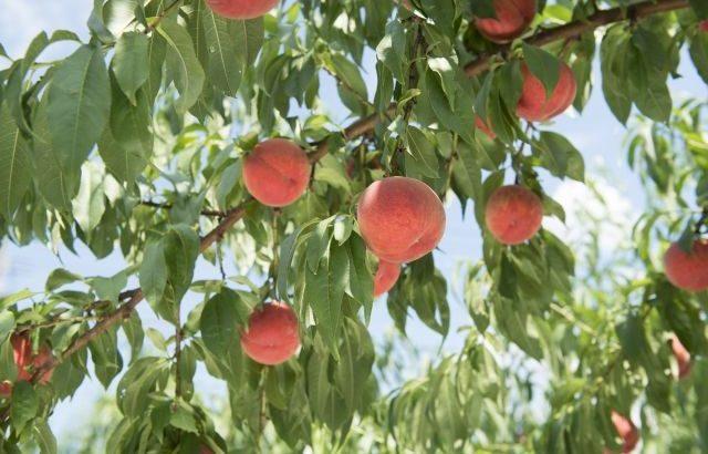 【山梨の桃】おいしい時期はいつからいつまで?オススメ品種・産地を教えます!