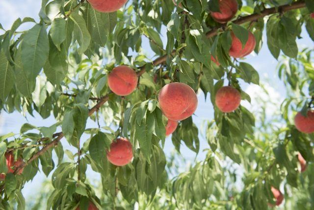 山梨県の桃・時期・品種・おいしい産地について紹介