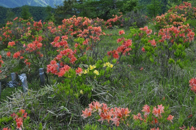 甘利山を歩いていると朱色のツツジのほかに黄色のツツジも見られる