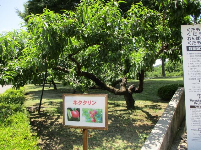 フルーツ公園にあるフルーツの木
