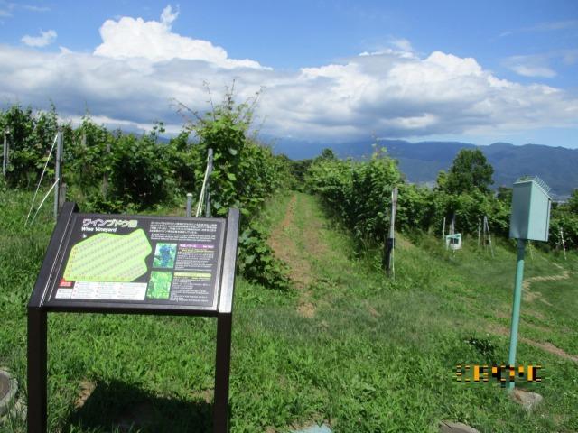 フルーツ公園内のワインぶどう畑