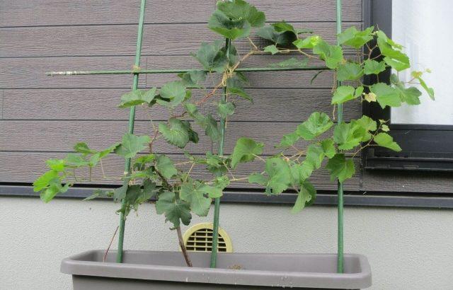 【ぶどうを利用した緑のカーテン作り】1年目・夏の成長と効果!山梨県公認ブログに!?