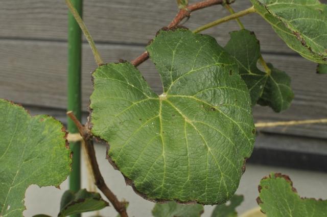 ぶどうの葉の周りが茶色い