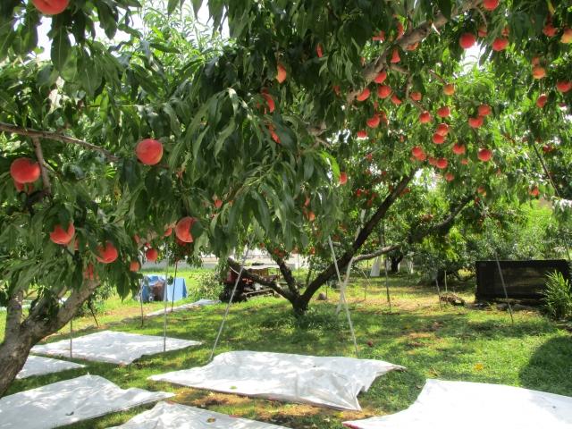 ピーチカフェなかにし周辺の桃畑