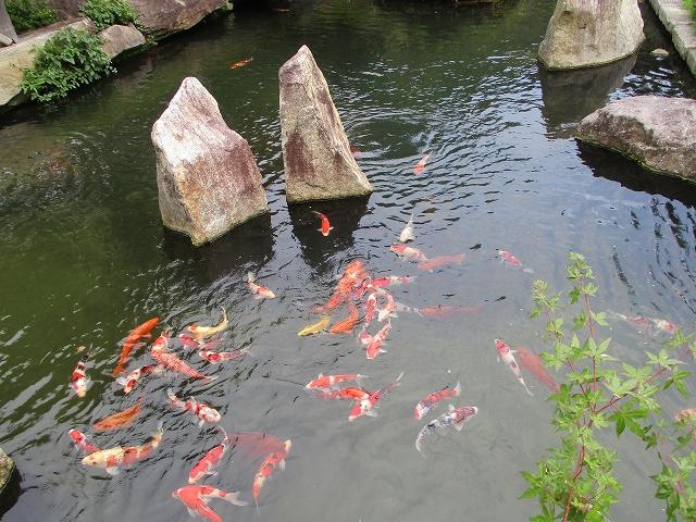 昇仙峡カフェテロワールの池にいる鯉