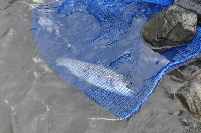 釣れたニジマスはネットに入れて川へ