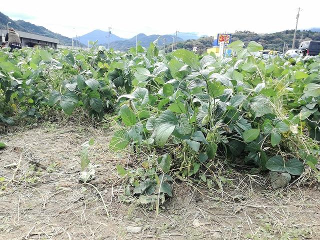 西嶋第1会場のあけぼの大豆畑