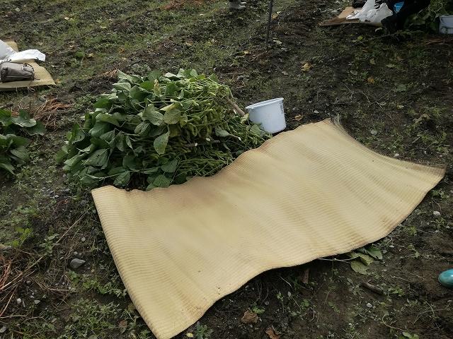 あけぼの大豆収穫体験ござとバケツをもらう