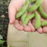 【あけぼの大豆産地フェア】幻の大豆を収穫体験!服装や持ち物をチェックしておこう