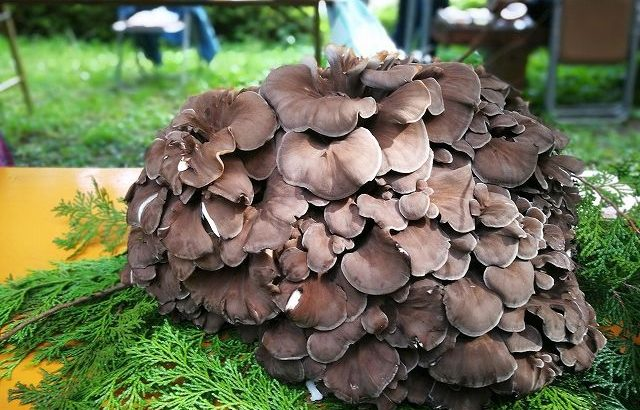 丹波山村の舞茸祭♪収穫期間わずか3週間の原木舞茸を食べに行こう!