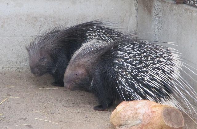 遊亀公園のアフリカタテガミヤマアラシ