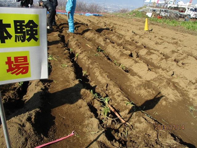 大塚にんじんを収穫する畑
