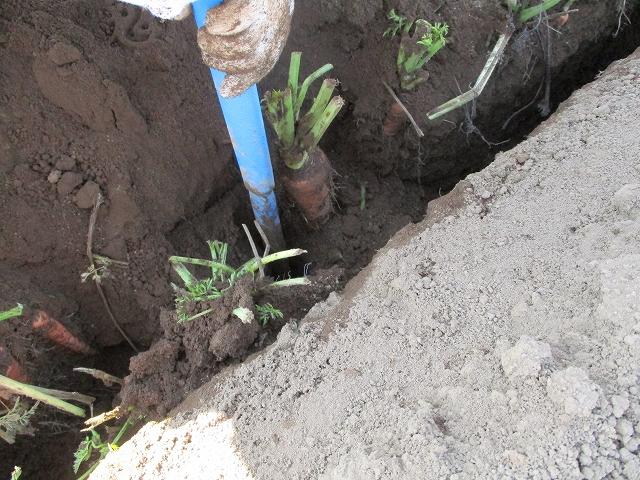 大塚にんじん収穫体験で掘り棒を差す